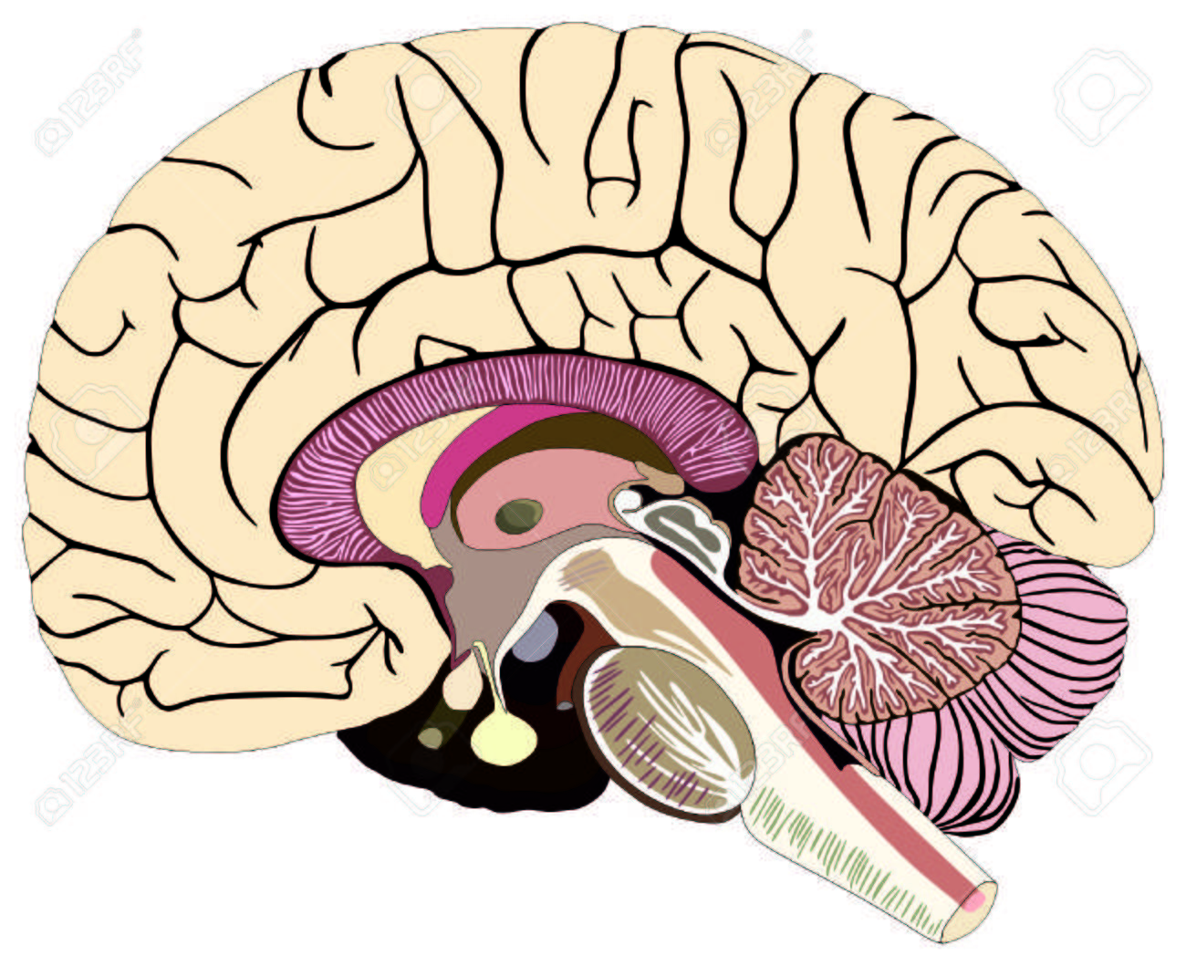 Median section of human brain anatomical structure diagram unlabeled median section of human brain anatomical structure diagram unlabeled chart with all parts stock vector ccuart Images