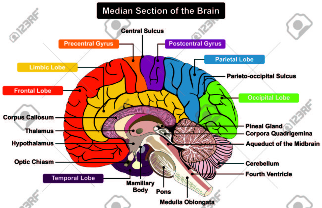 median section of human brain anatomical structure diagrammedian section of human brain anatomical structure diagram infographic chart with all parts cerebellum thalamus,