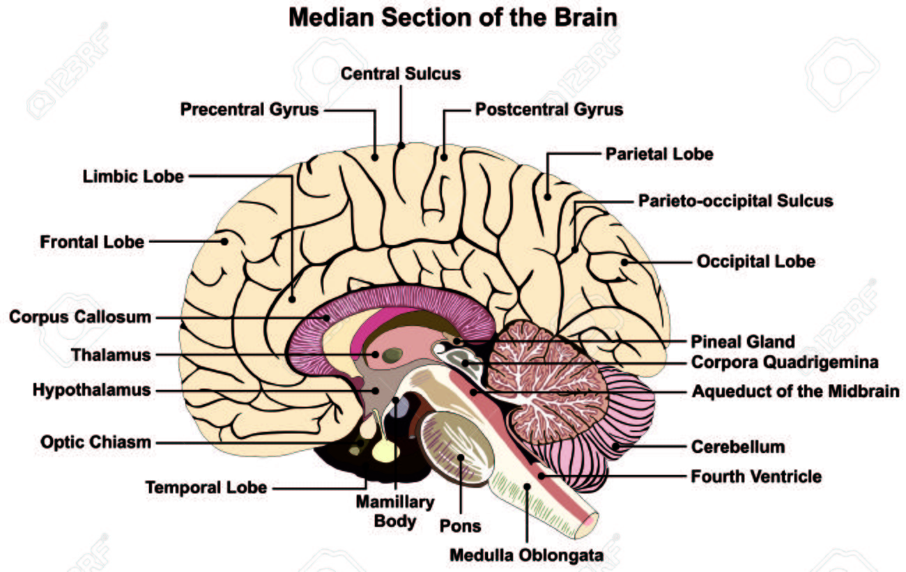 Sección Mediana Del Cerebro Humano Diagrama De Estructura Anatómica ...