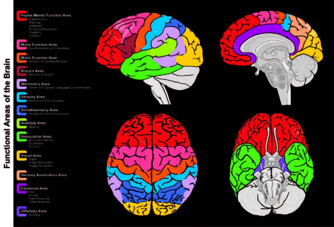 Human Brain Functional Infographic Including All Areas And Its ...