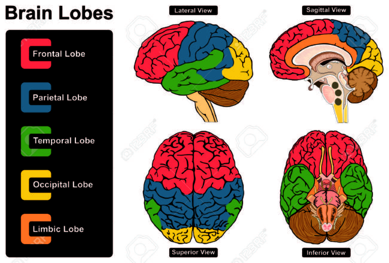 Human brain anatomy set of lateral sagittal superior inferior human brain anatomy set of lateral sagittal superior inferior views with all lobes stock vector ccuart Image collections