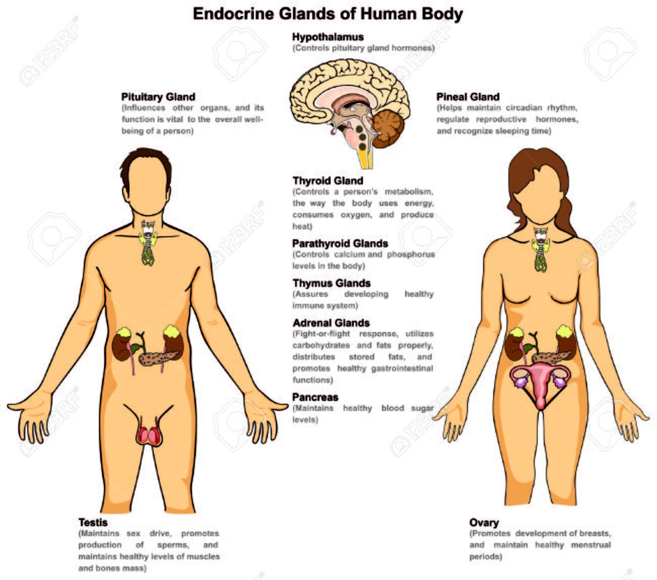 Endokrine Drüsen Des Menschlichen Körpers Für Mann Und Frau ...