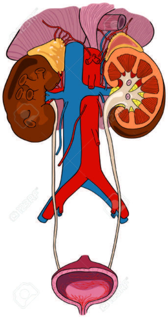 Urinary Renal System Of Human Body Anatomy With All Parts Royalty ...