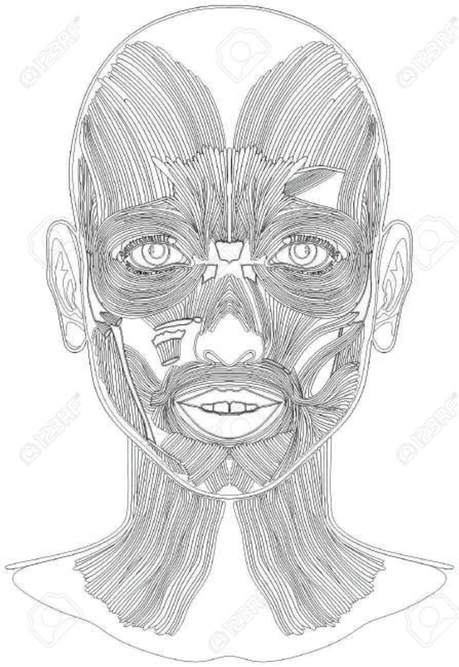 Bosquejo De Arte De La Línea De Anatomía De Los Músculos De La Cara ...