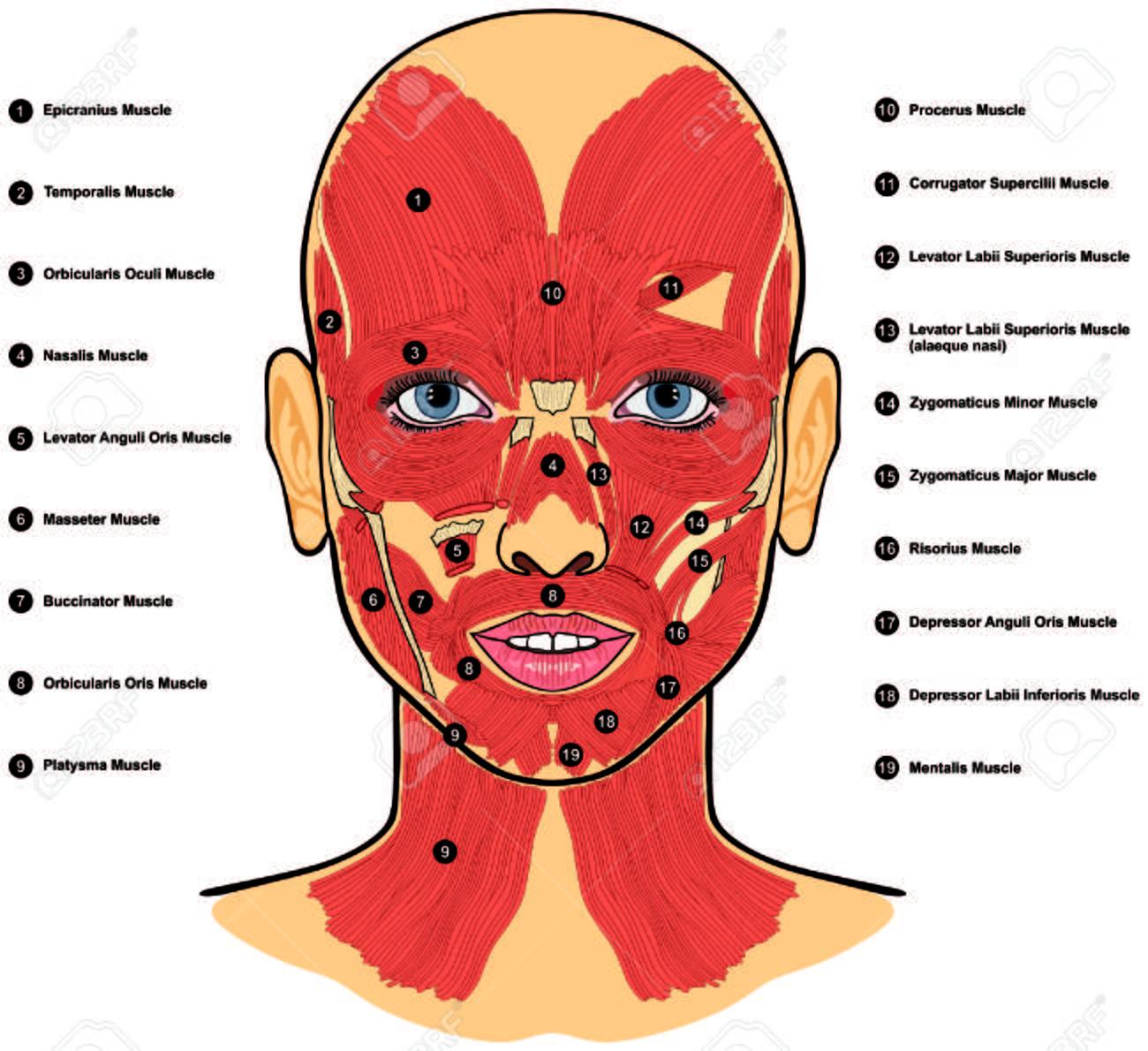 Los Músculos De La Cara Humana Anatomía Etiquetados Con Nombres ...