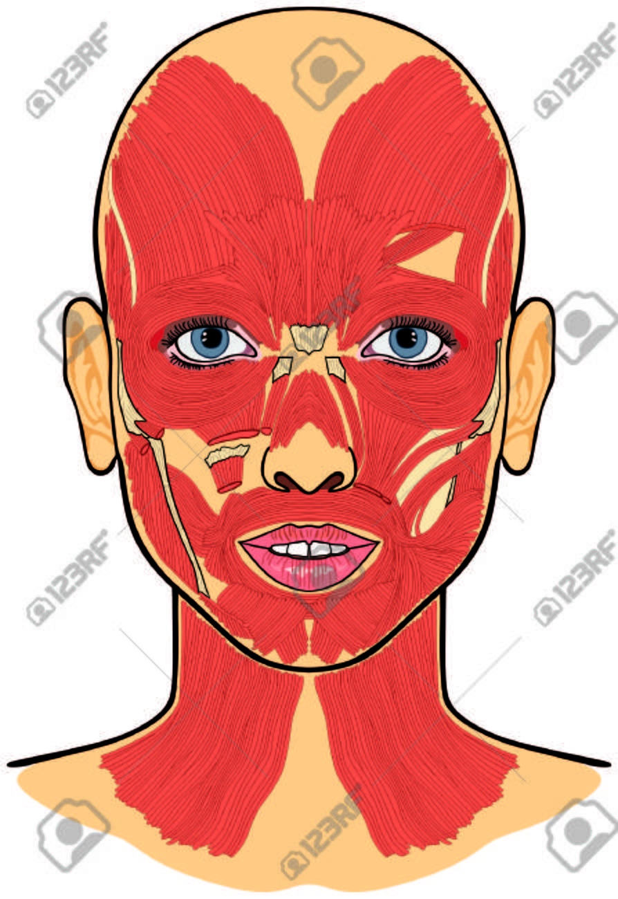 Human Face Muscles Anatomy Royalty Free Cliparts Vectors And Stock