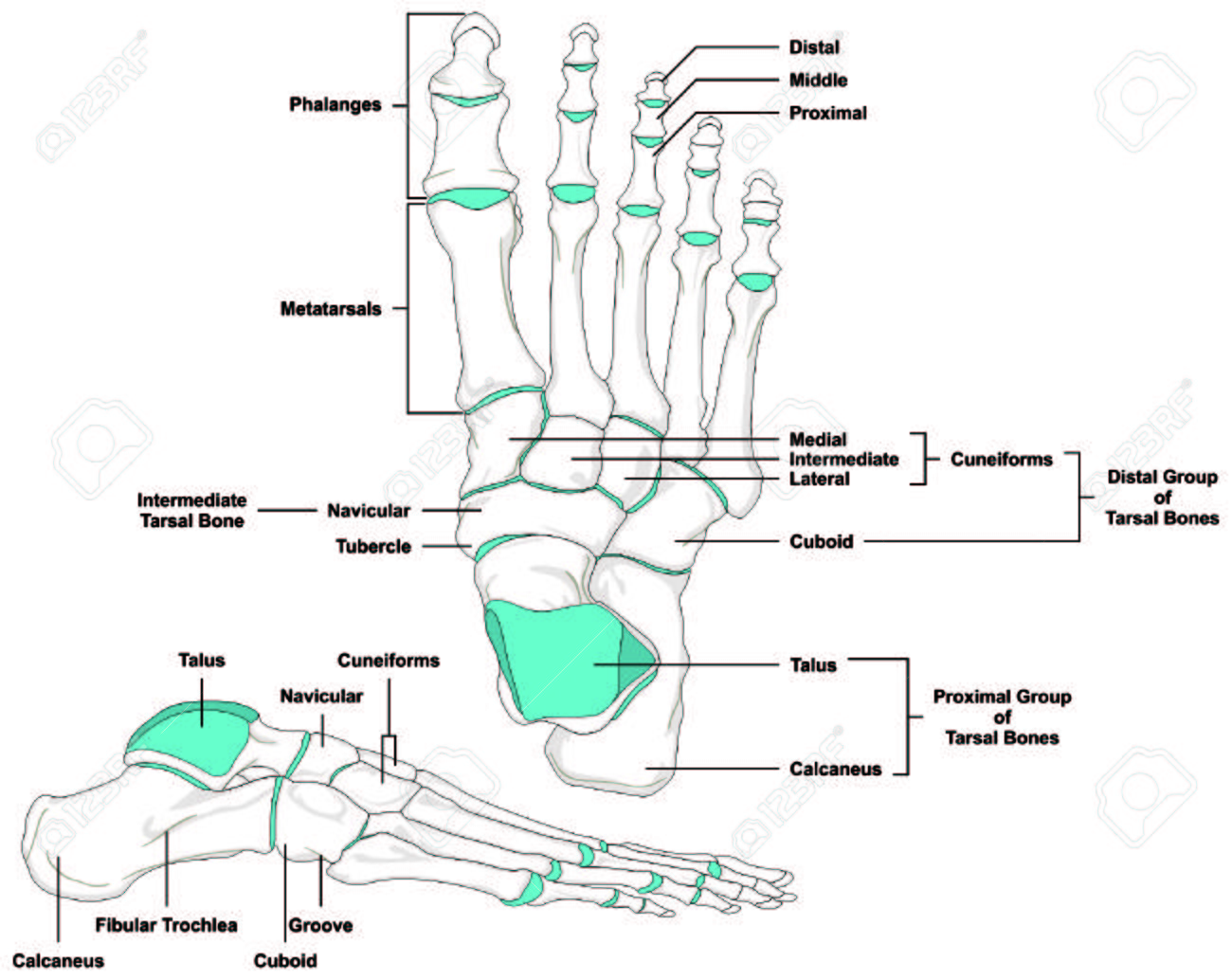 Human Foot Bones Anatomy Diagram In Anatomical Position Royalty Free