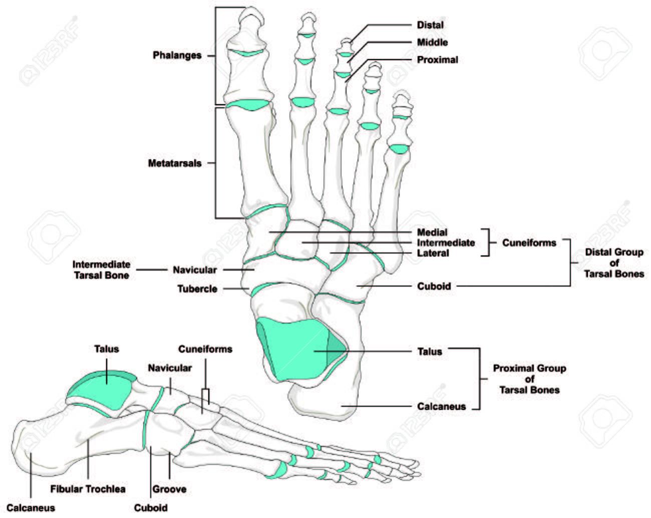 Pie Huesos Humanos Anatomía Diagrama En Posición Anatómica ...