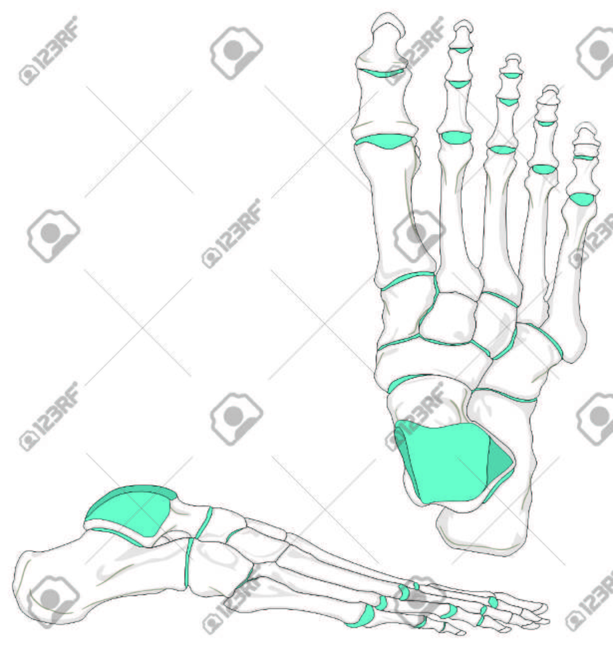 Human Foot Bones Anatomy Diagram In Anatomical Position Royalty Free ...