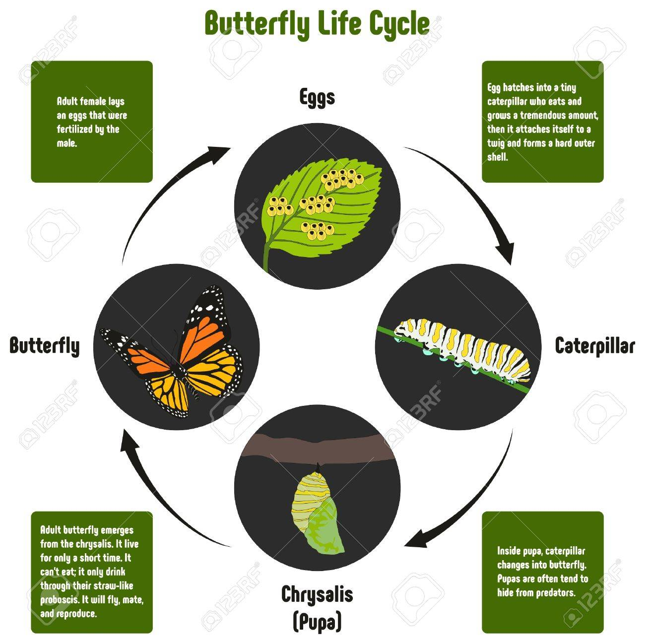 butterfly life cycle diagram with all stages including eggs caterpillar Moth Diagram