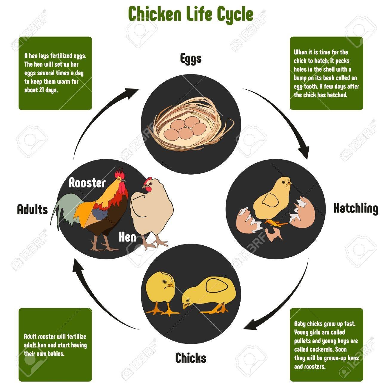 Chicken Life Cycle Diagram With All Stages Including Eggs Hatching ...