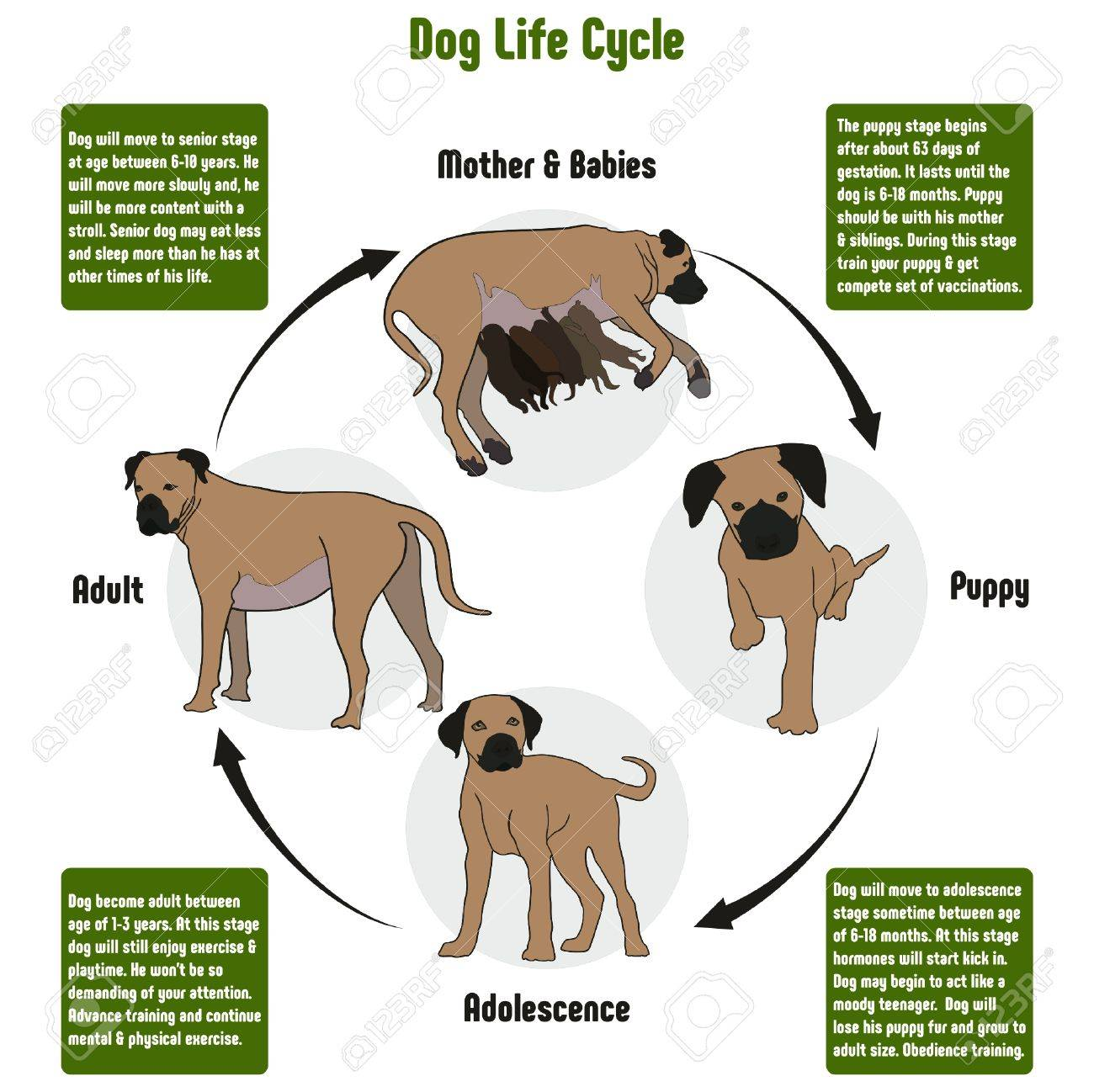 Dog life cycle diagram with all stages including birth mother dog life cycle diagram with all stages including birth mother and babies puppy adolescence adult simple pooptronica Choice Image