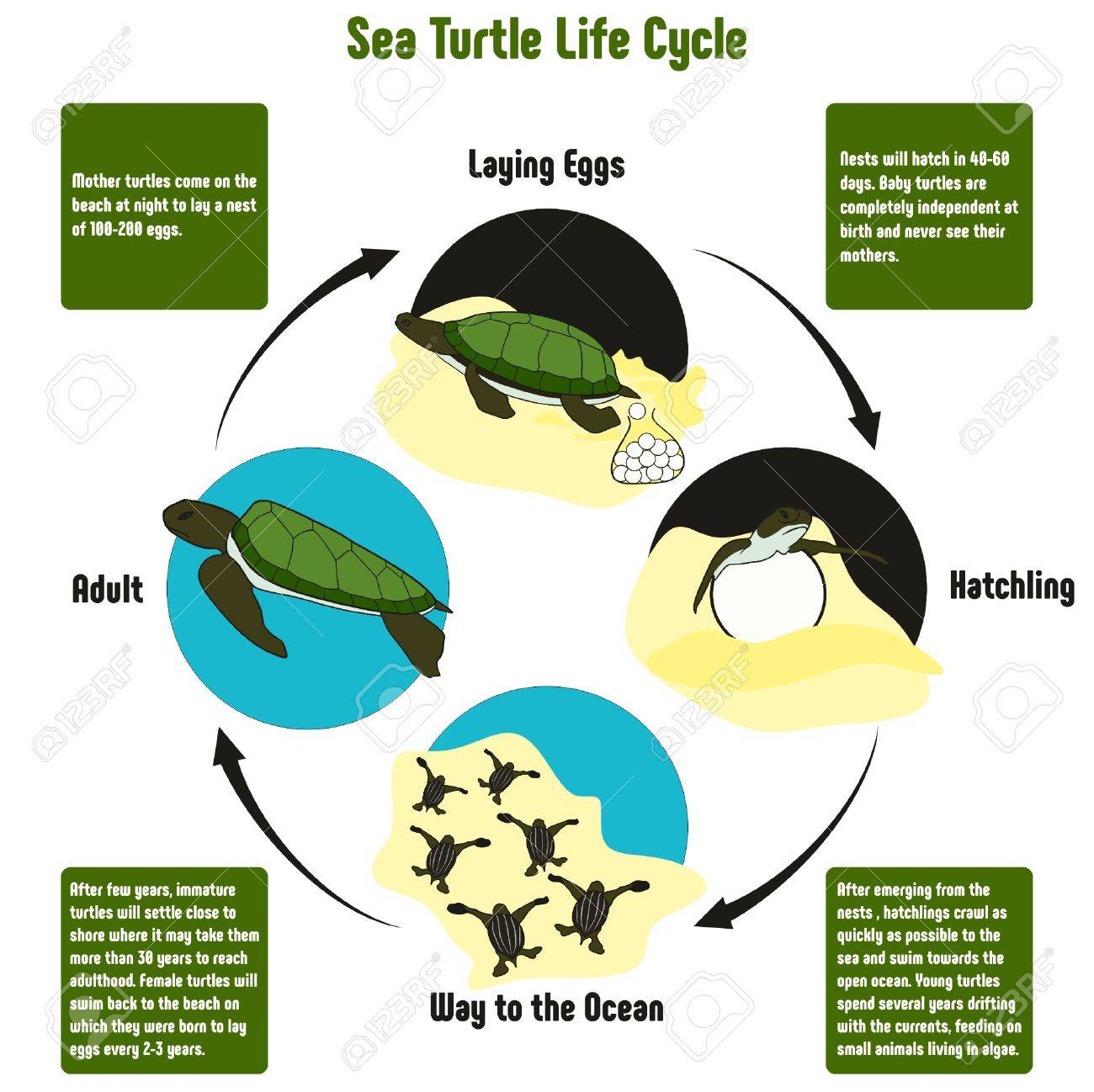 Sea Turtle Life Cycle Diagram With All Stages Including Laying ...