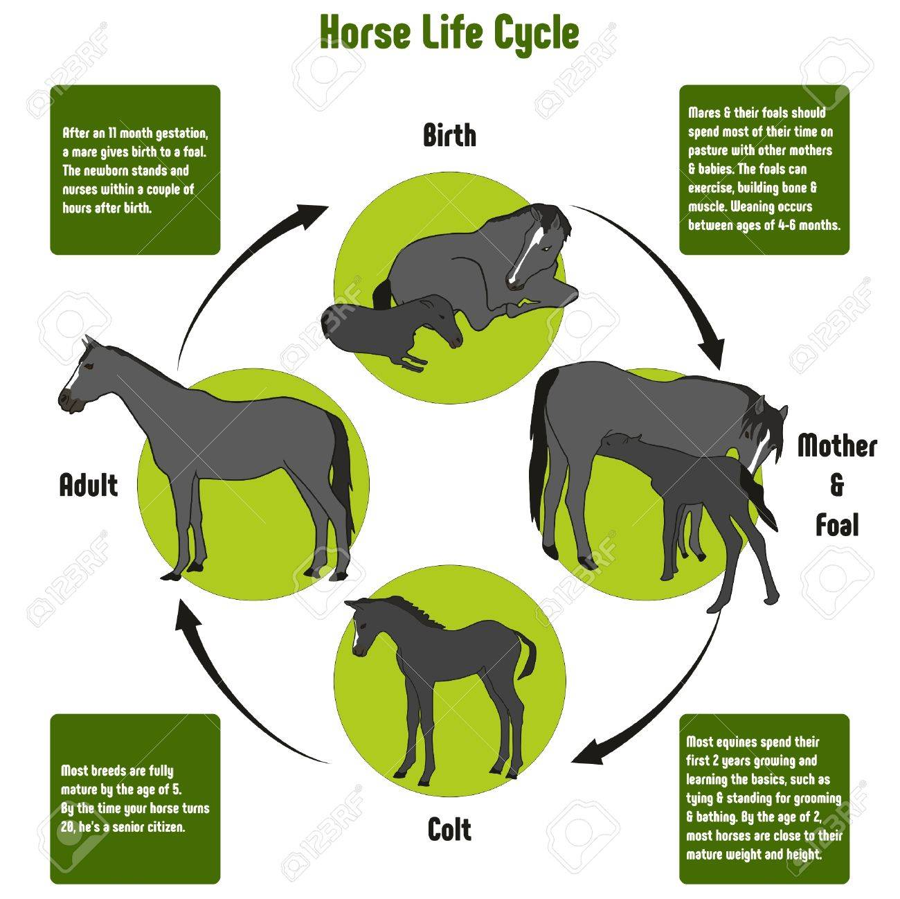 Horse life cycle diagram with all stages including birth mother horse life cycle diagram with all stages including birth mother and foal colt and adult simple pooptronica Image collections