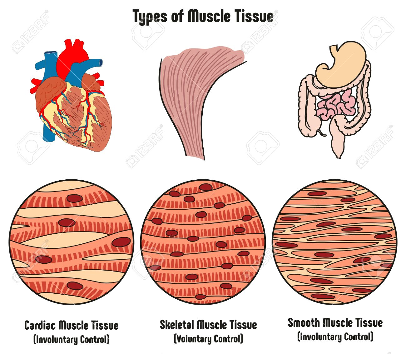 types of muscle tissue of human body diagram including cardiac