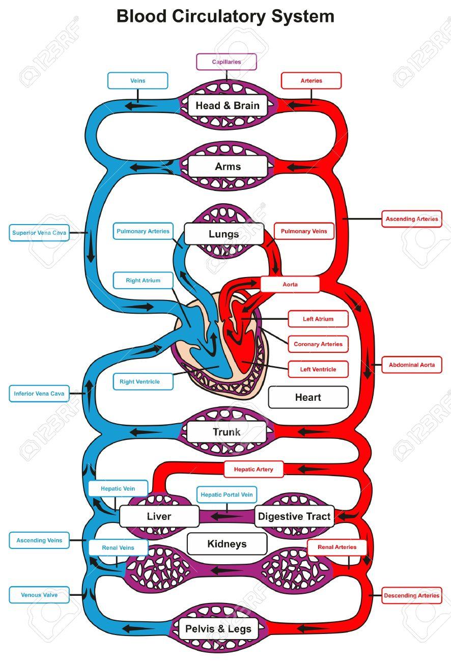 el diagrama del sistema circulatorio humano