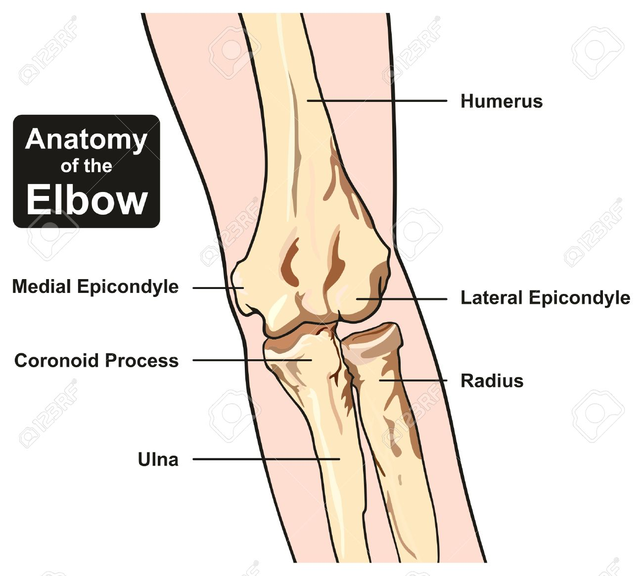 Anatomy Of The Elbow Joint Diagram Including All Bones Humerus ...