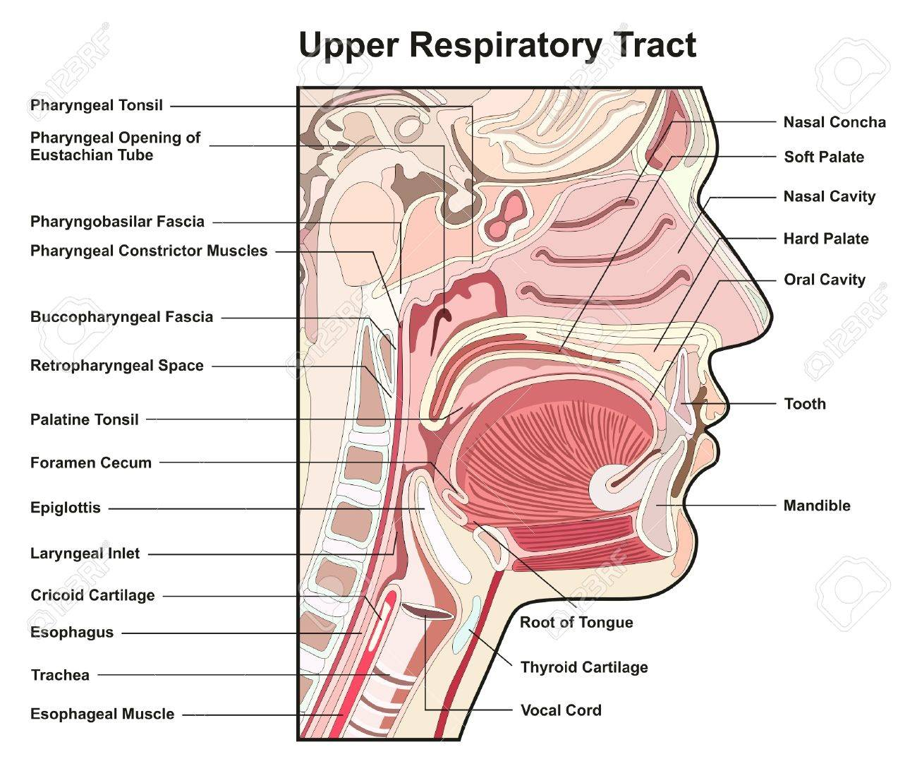 Upper Respiratory Tract Cross Section Infographic Diagram With ...