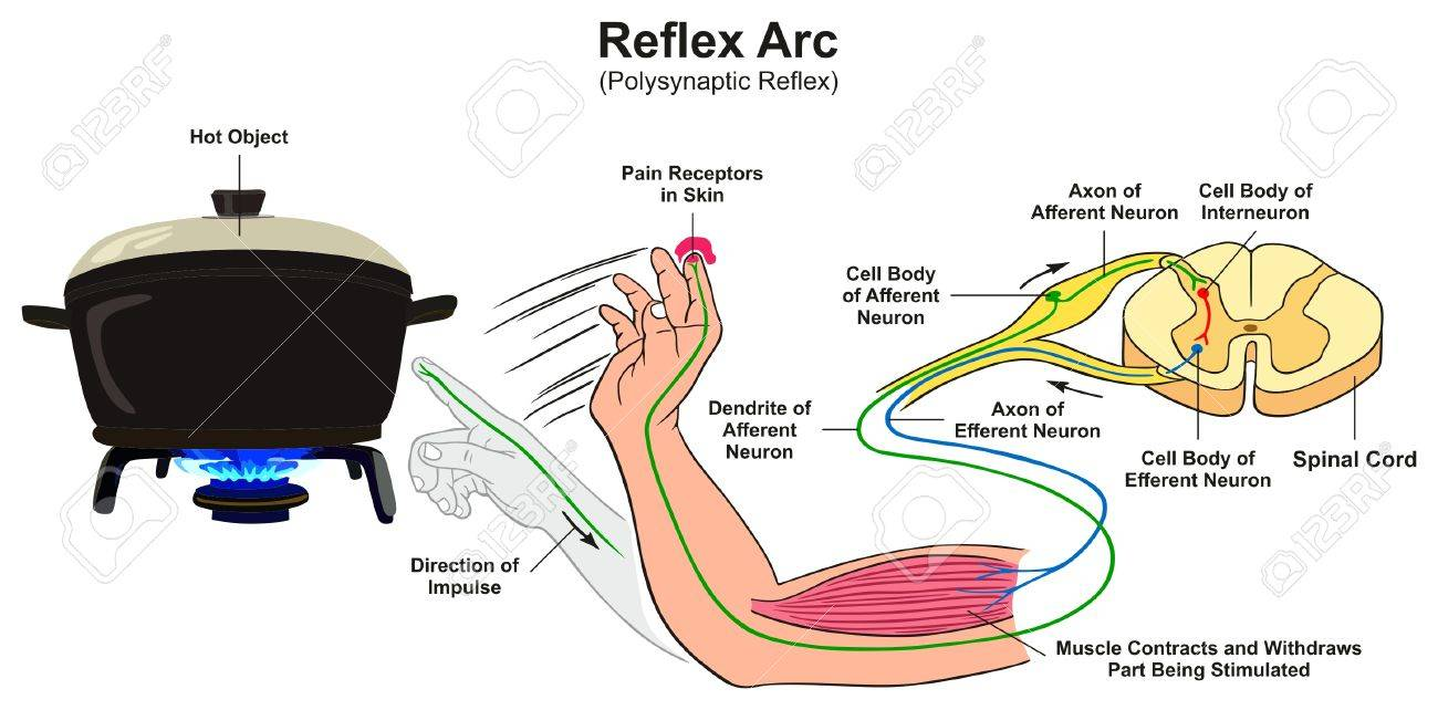Reflex arc infographic diagram with example of polysynaptic reflex reflex arc infographic diagram with example of polysynaptic reflex human hand touching hot object pain receptors ccuart Choice Image