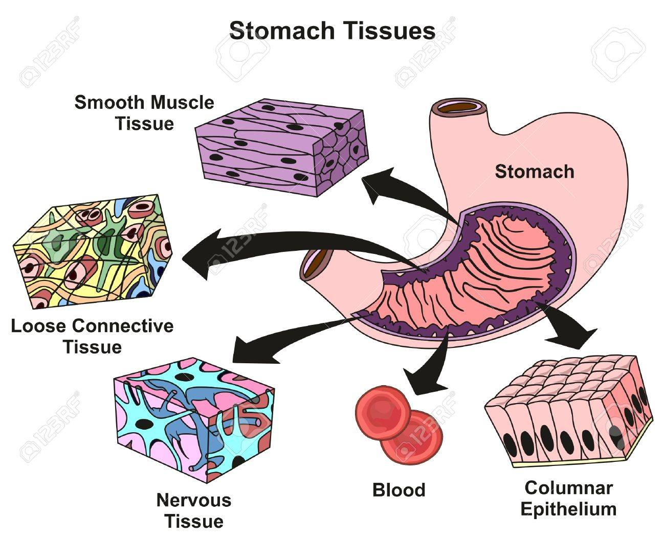 Stomach tissues types and structure infographic diagram including stomach tissues types and structure infographic diagram including smooth muscle loose connective nervous blood columnar ccuart Image collections