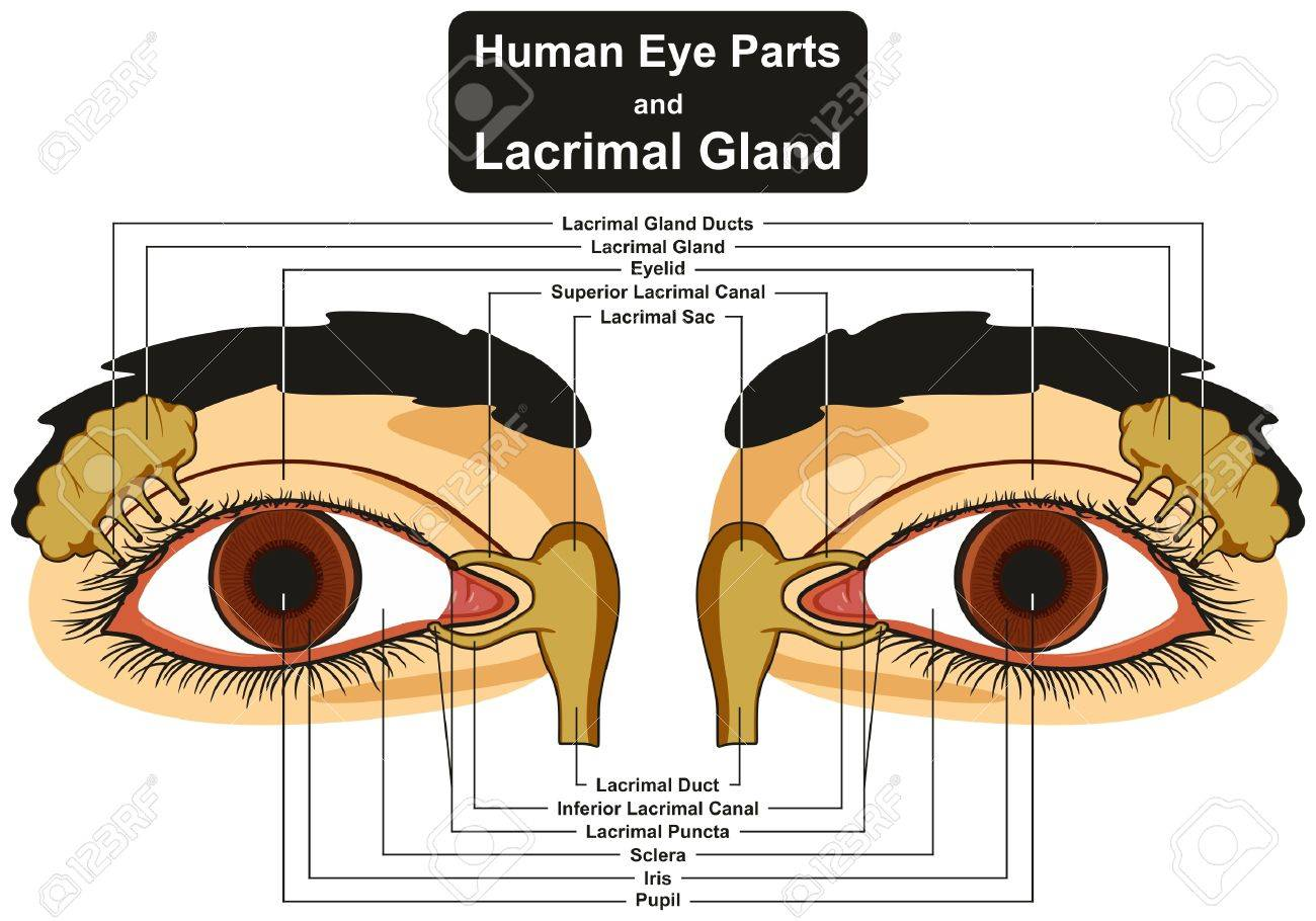 Human Eye Parts And Lacrimal Gland Infographic Diagram Including ...