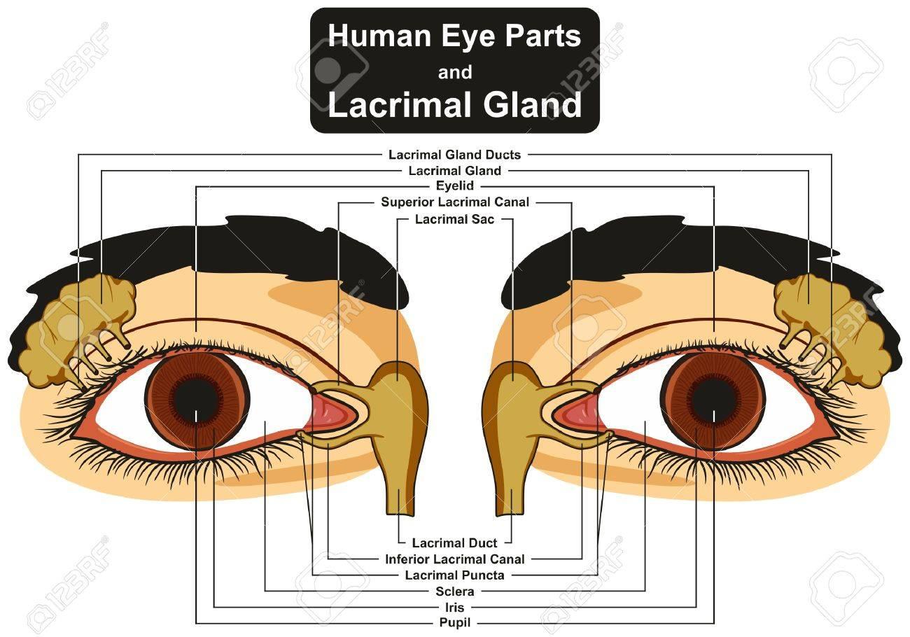Partes Del Ojo Humano Y Glándula Lagrimal Diagrama Infográfico ...
