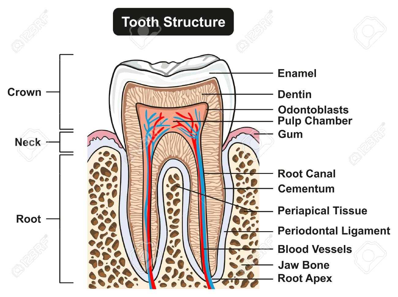 Tooth Cross Section Anatomy With All Parts Including Crown Neck ...