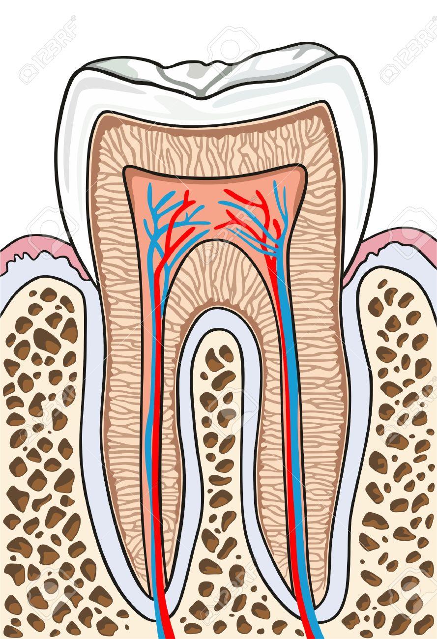 Zahnquerschnitt Anatomie Mit Allen Teilen Einschließlich Kronenhals ...