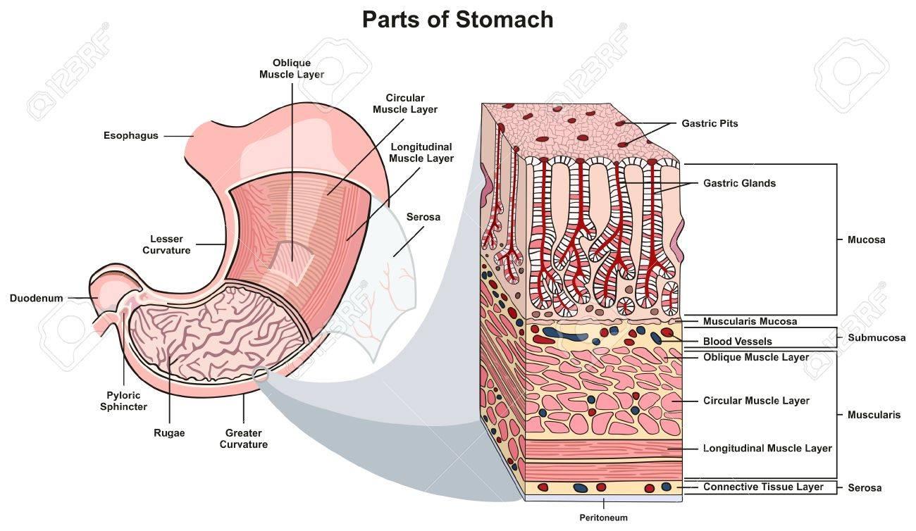 Partes Del Diagrama De La Infografía Del Estómago, Incluyendo La ...
