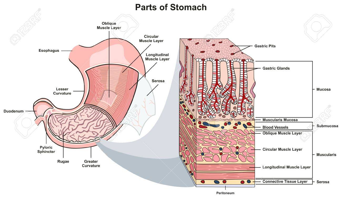 parts of stomach infographic diagram including structure and