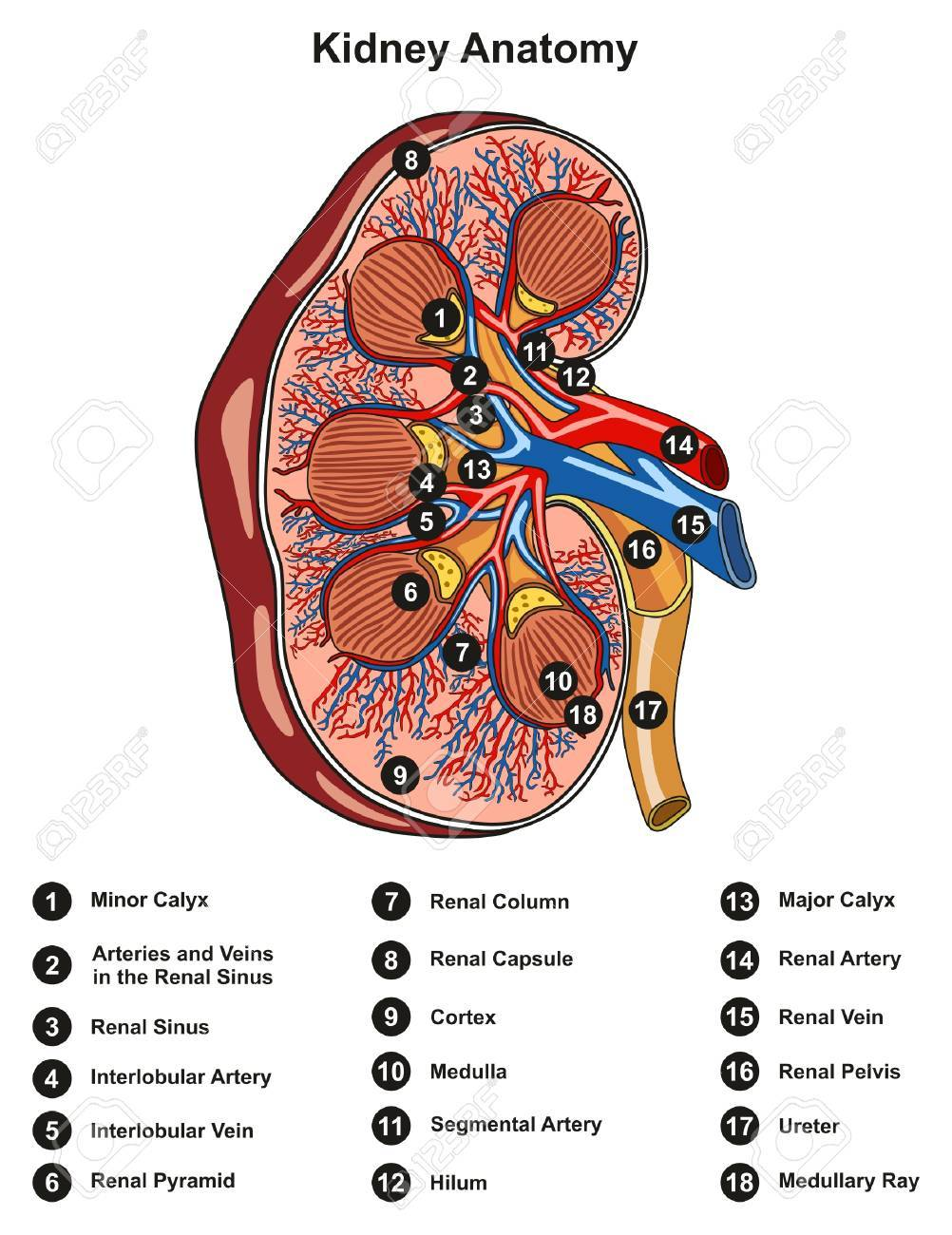 Kidney anatomy cross section infographic diagram including all kidney anatomy cross section infographic diagram including all parts renal pelvis calyx medulla cortex ureter artery ccuart Images