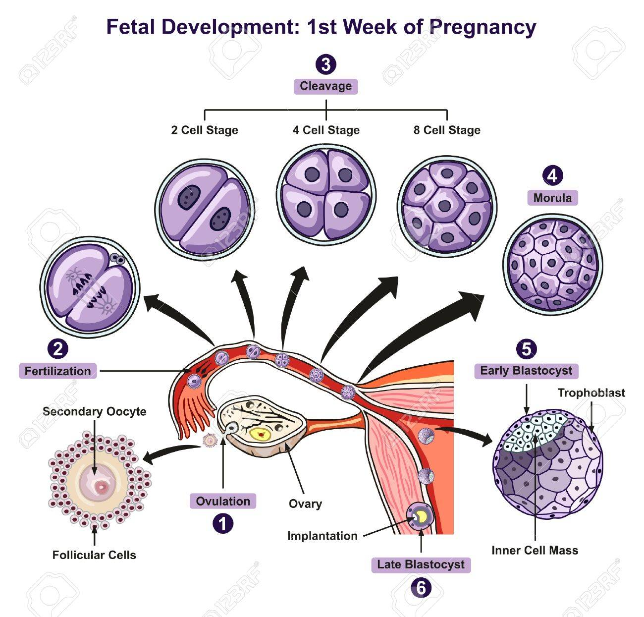 Fetal Development First Week Of Pregnancy Infographic Diagram ...