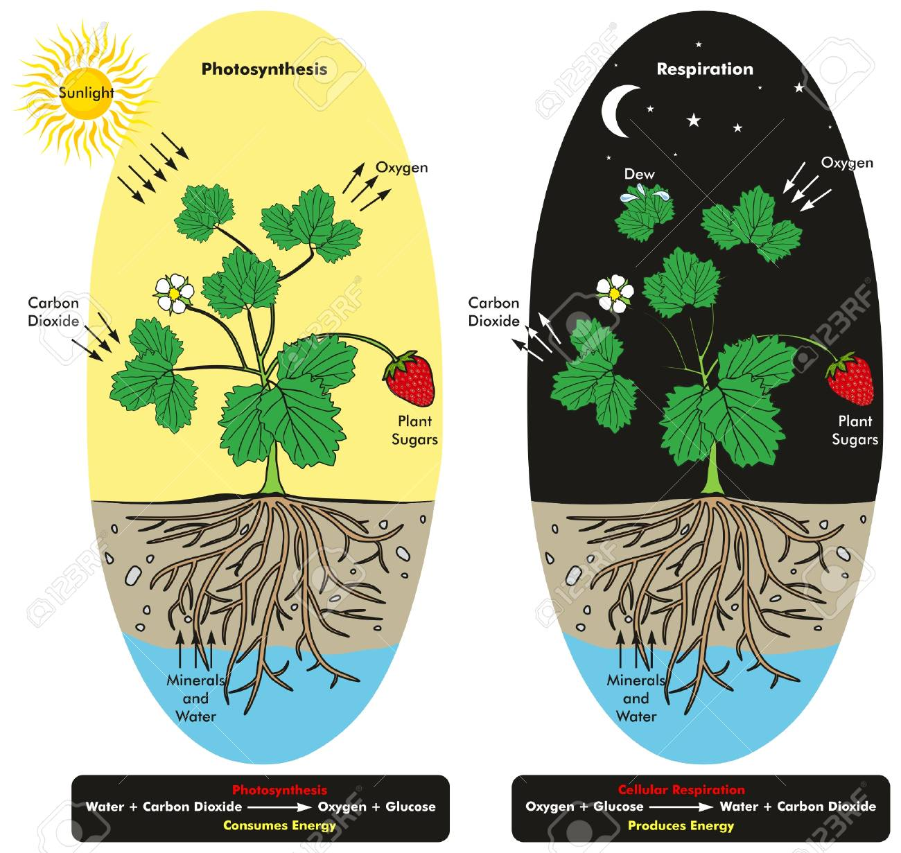 Photosynthesis and cellular respiration process of plant during photosynthesis and cellular respiration process of plant during day and night time infographic diagram showing comparison ccuart Images