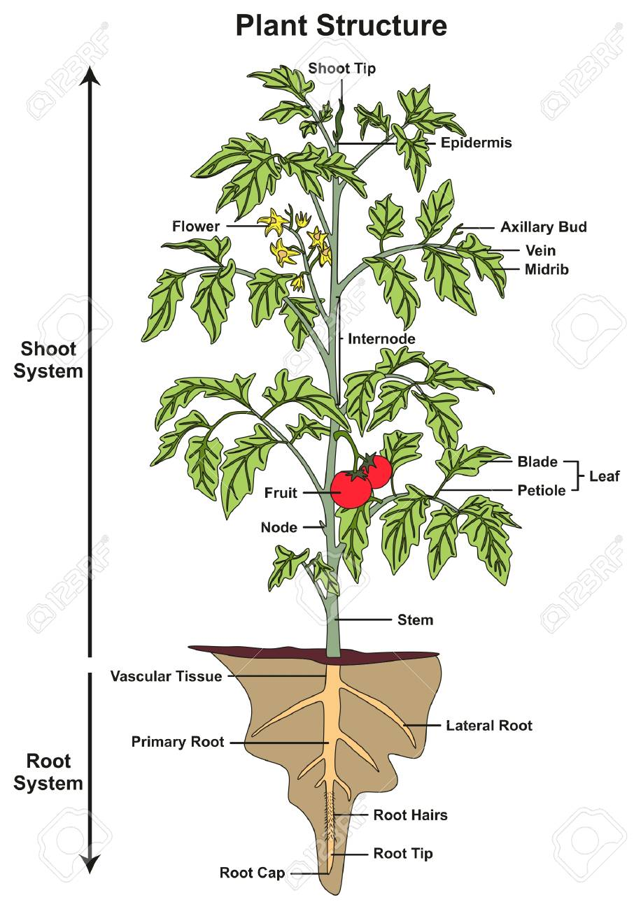 plant structure infographic diagram including all parts of shoot