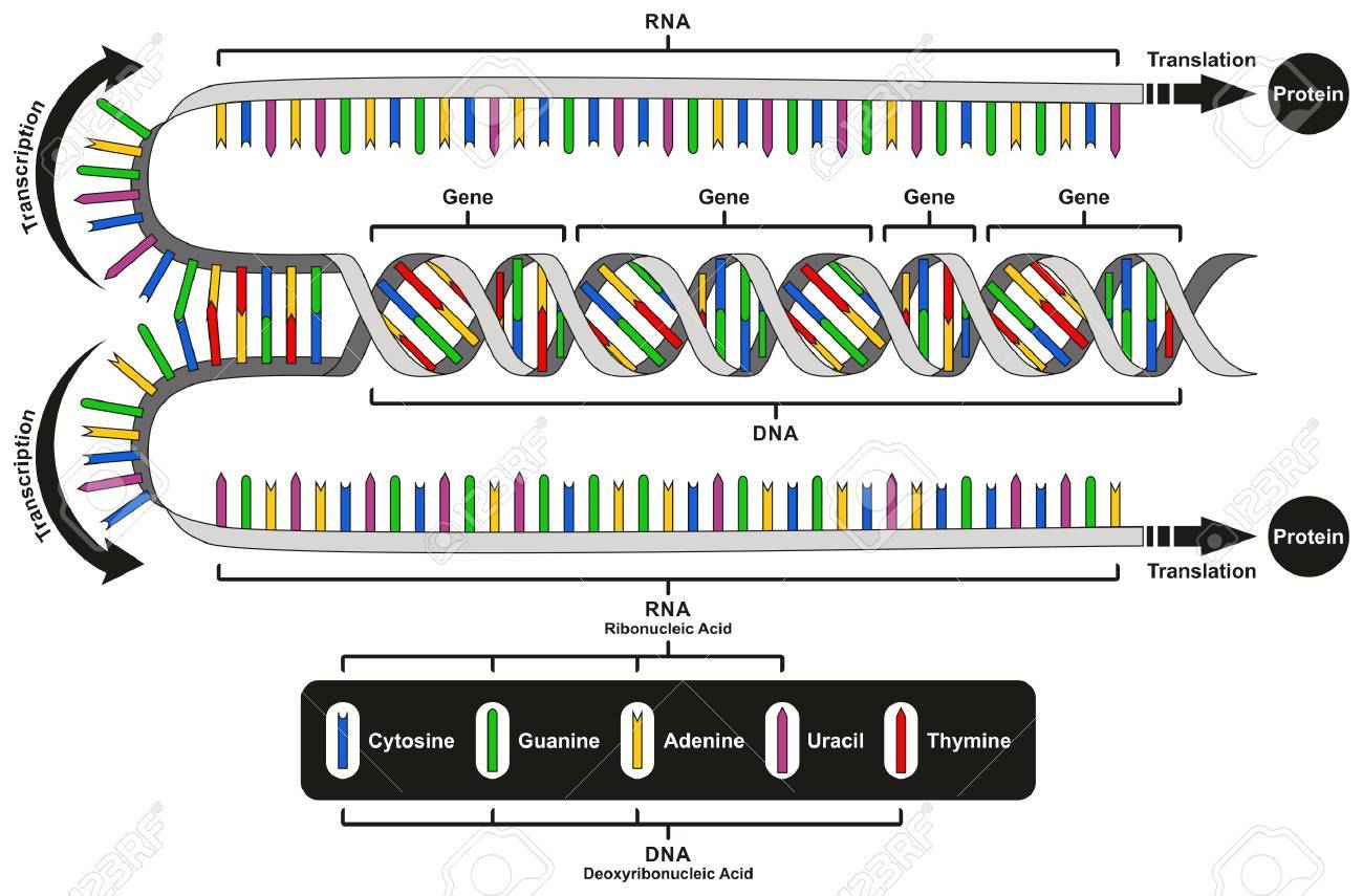 central dogma of gene expression infographic diagram showing the process of  transcription and translation from dna