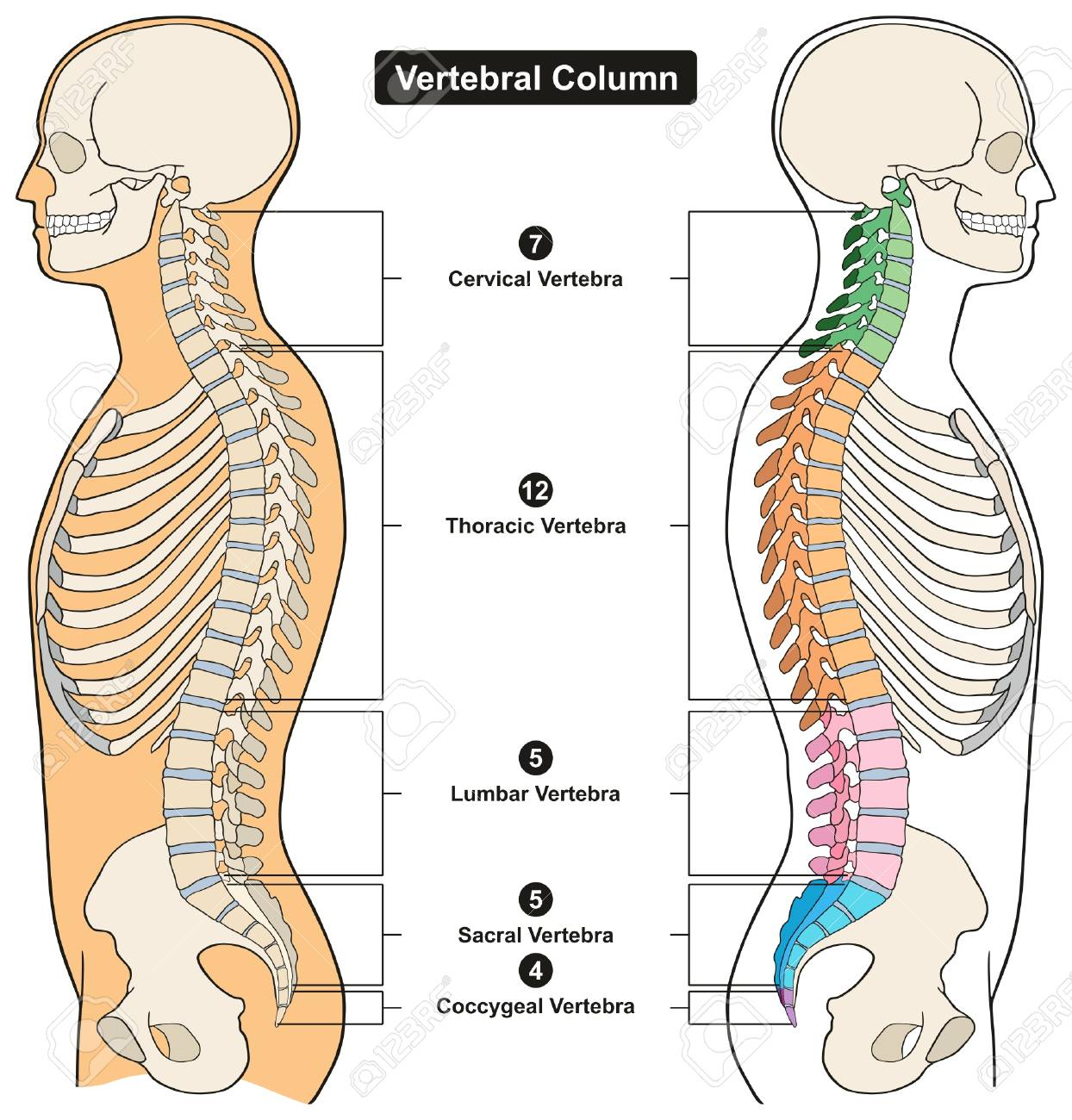 Vertebral Column Of Human Body Anatomy Infograpic Diagram Including