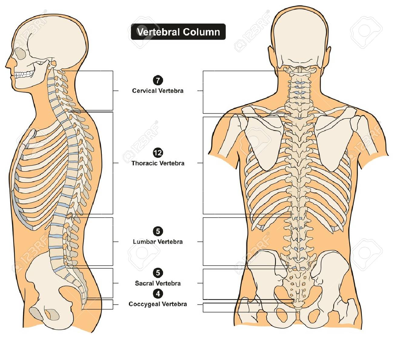 Wirbelsäule Des Menschlichen Körpers Anatomie Infografik Diagramm ...