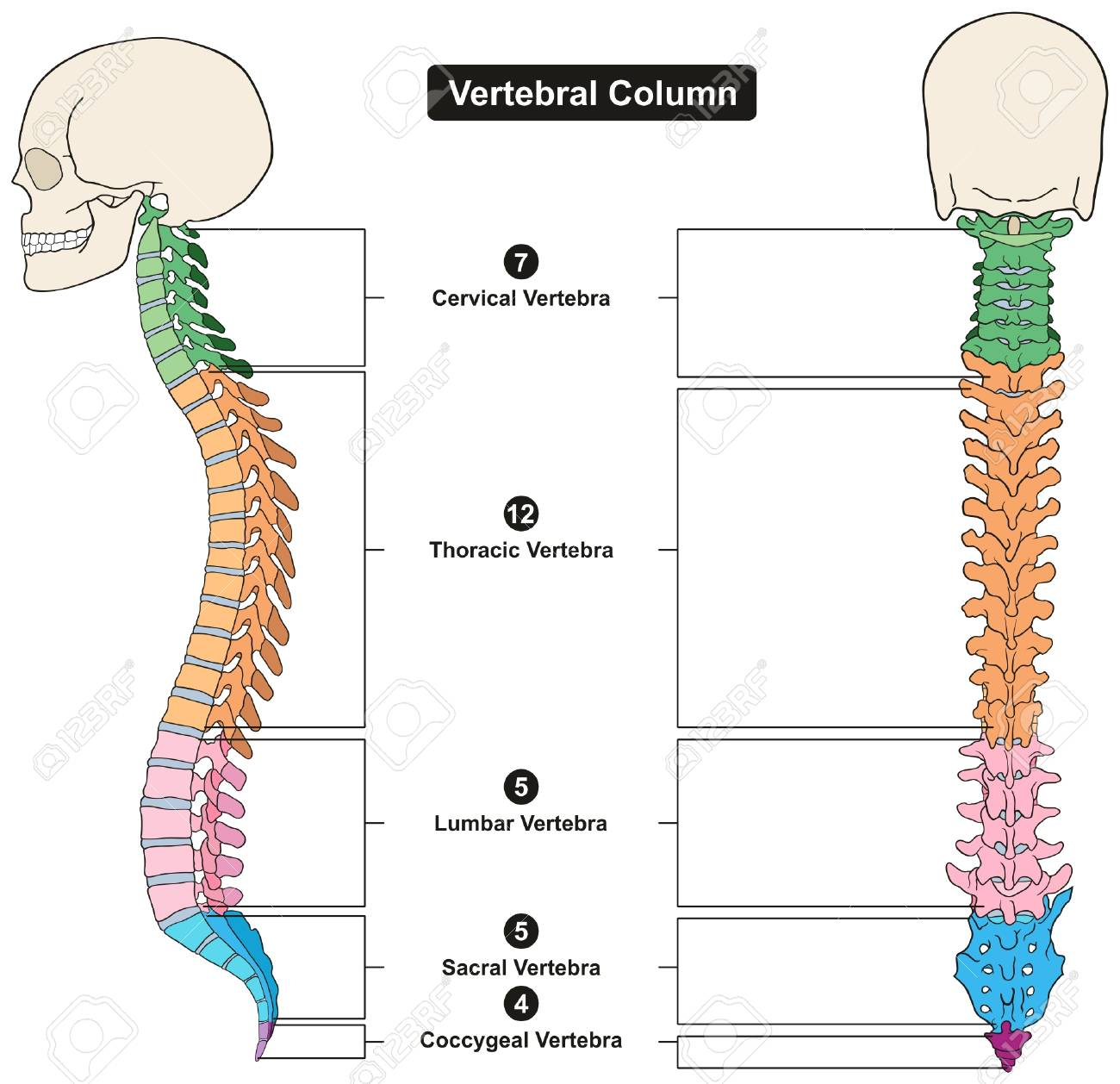 Vertebral Column Of Human Body Anatomy Infograpic Diagram Including ...