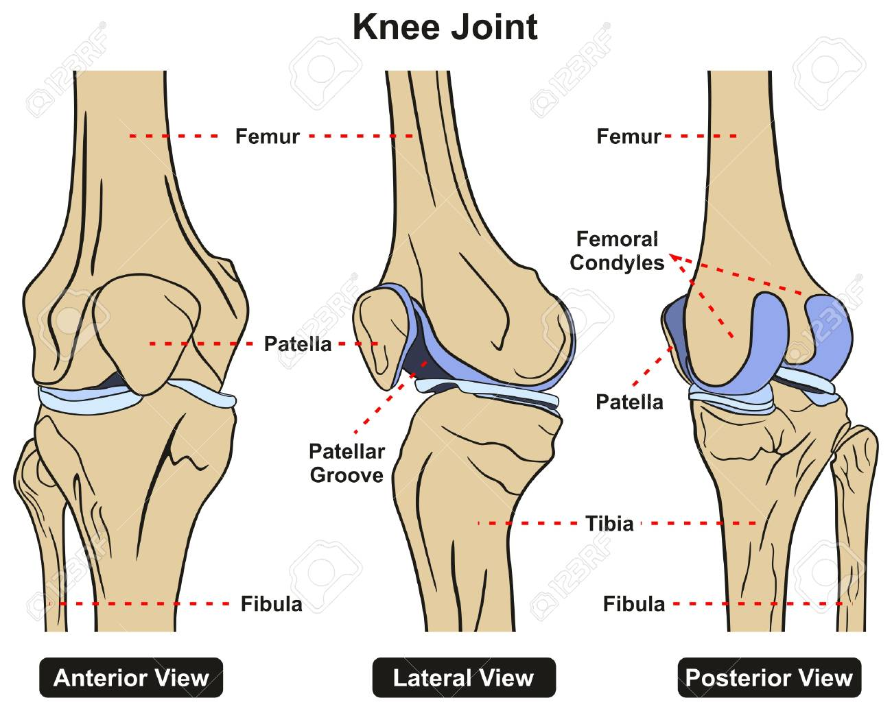 Knee Joint Of Human Body Anatomy Infographic Diagram Including ...