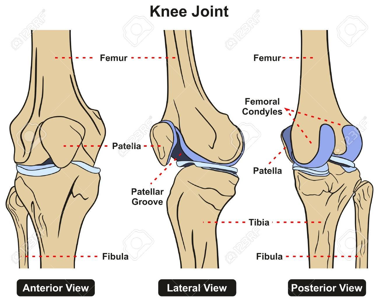 Kniegelenk Des Menschlichen Körpers Anatomie Infographik Diagramm ...