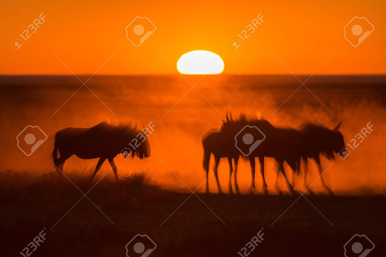 Sunrise in Etosha, Namibia with a herd of Wildebeest in the foreground Standard-Bild - 28463512