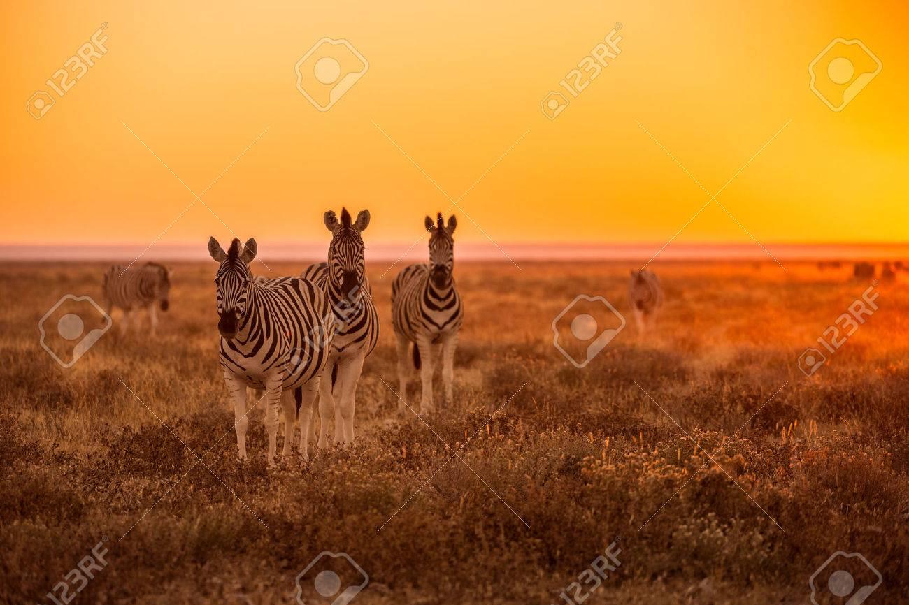 A herd of Zebra grazing at sunrise in Etosha, Namibia Standard-Bild - 28649607