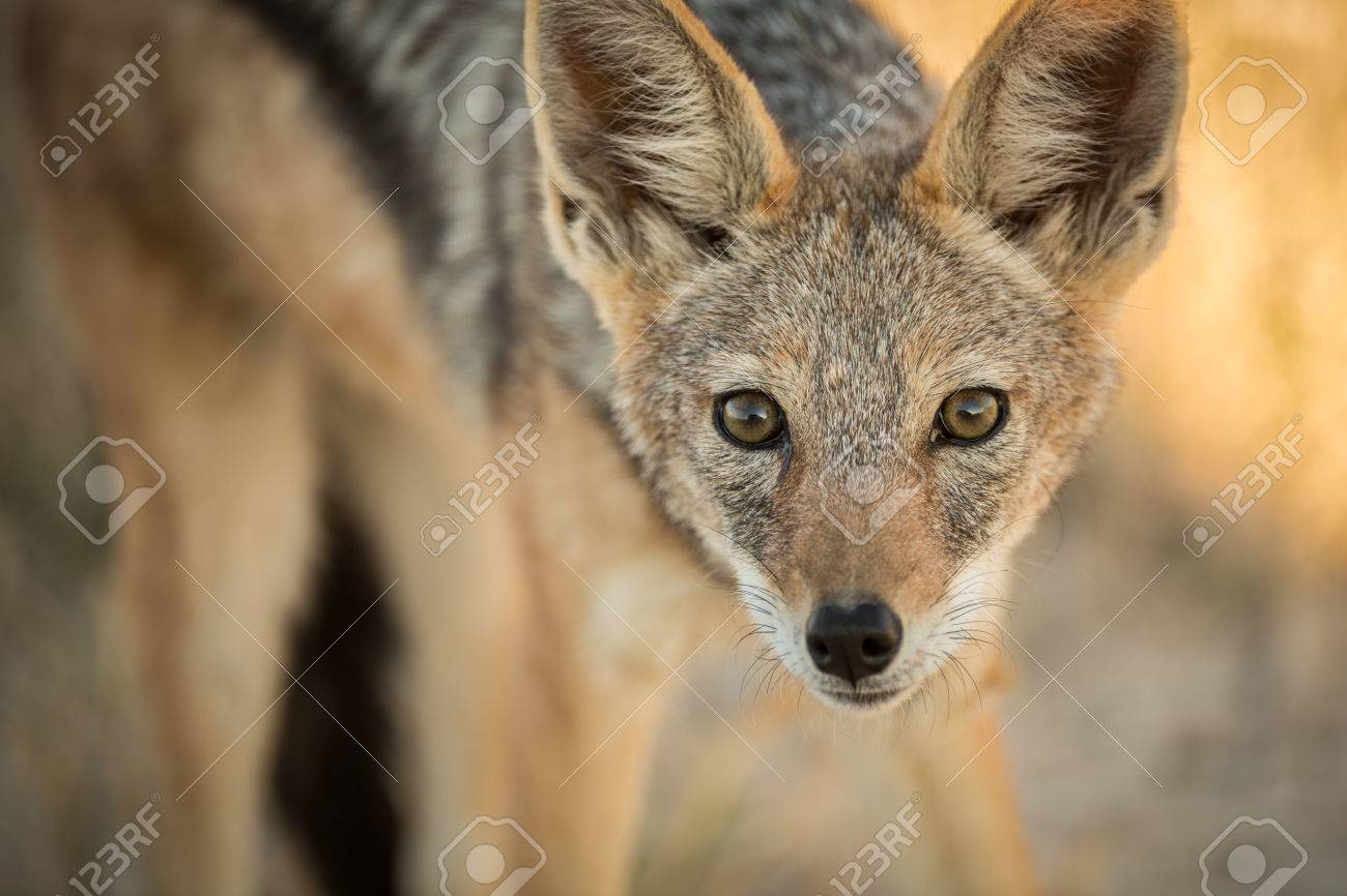 A watchful Jackal in the late afternoon in Etosha, Namibia Standard-Bild - 29688557