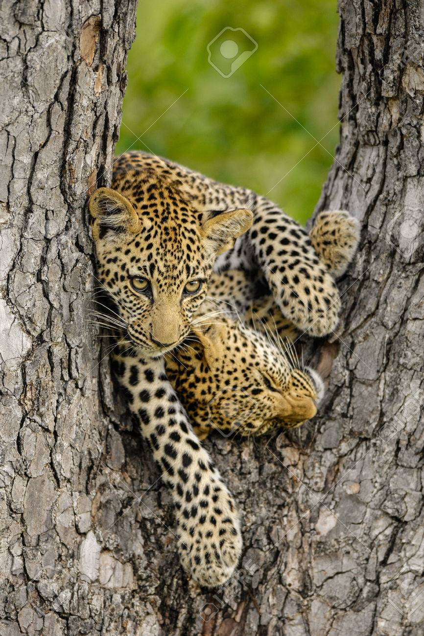 Two Leopard cubs playing in a tree Standard-Bild - 29688558