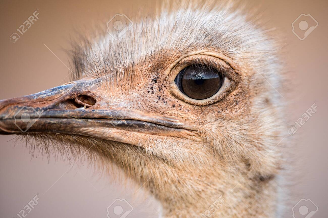 A detailed close up portrait of an ostrich face, with a huge eye looking at the camera, taken in the Madikwe Game Reserve, South Africa. - 142555842