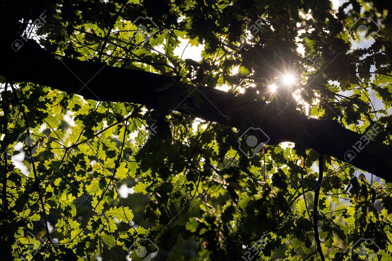 An abstract detail photograph of the sun shining through the green leaves of an oak tree in Cologne, Germany. - 142555868