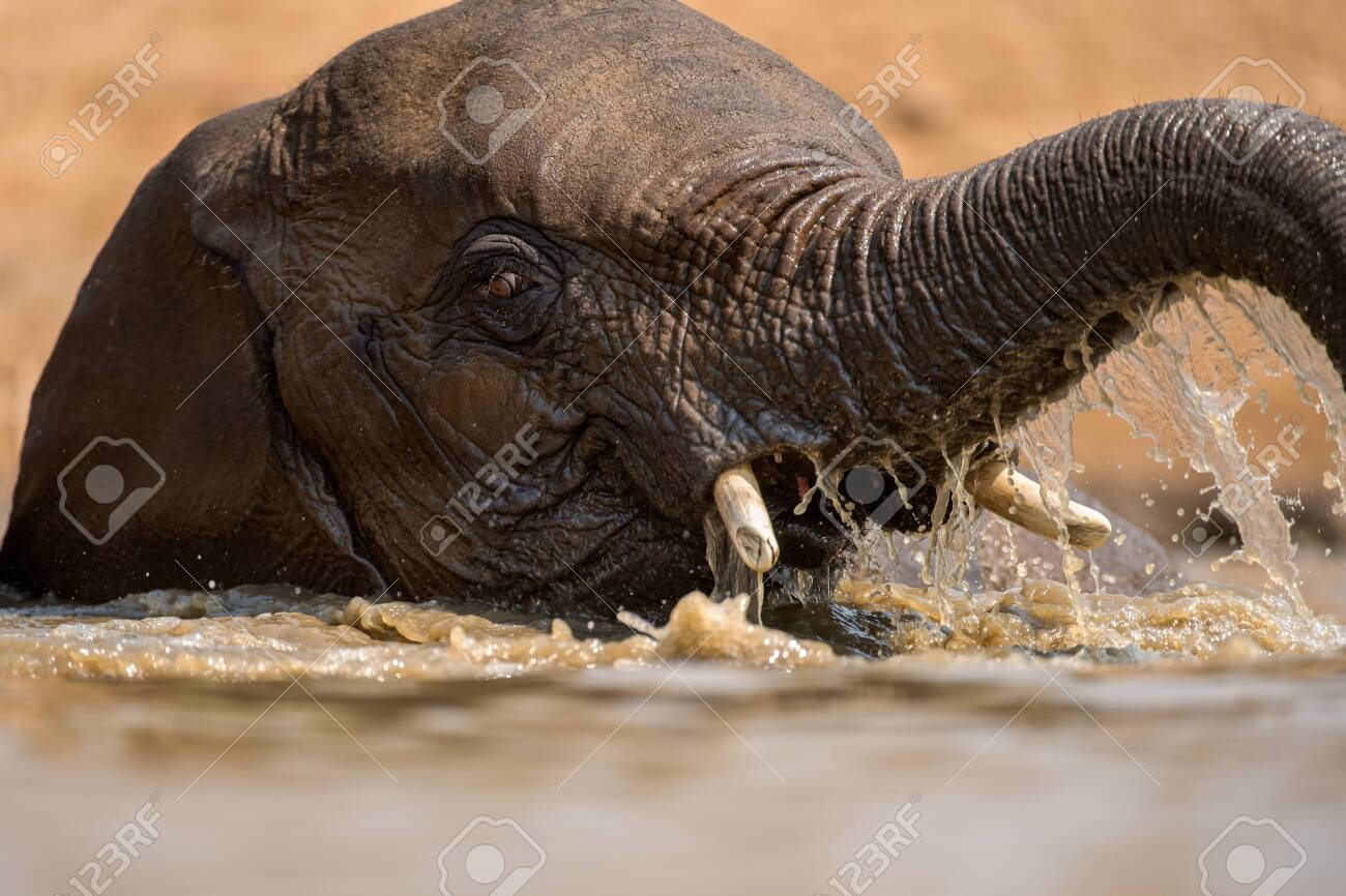 A close up action portrait of a swimming elephant, splashing, playing and drinking in a waterhole at the Madikwe Game Reserve, South Africa. - 142555869