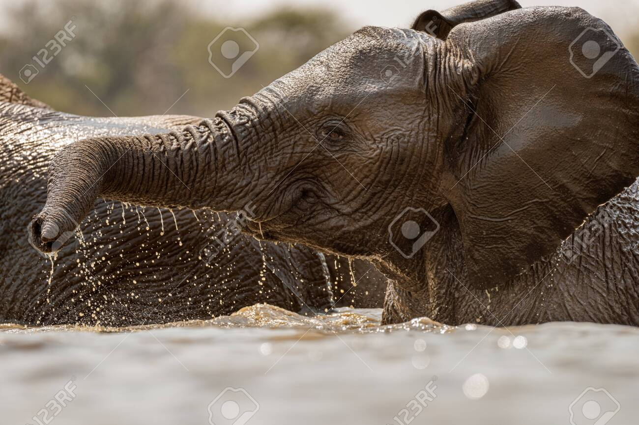 A close up action portrait of a swimming elephant, splashing, playing and drinking in a waterhole at the Madikwe Game Reserve, South Africa. - 142555870