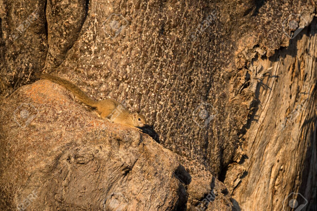 A close up photograph of a small tree squirrel basking in the early morning sun, while sitting on a branch of an ancient tree, taken in the Madikwe Game Reserve, South Africa. - 142555949