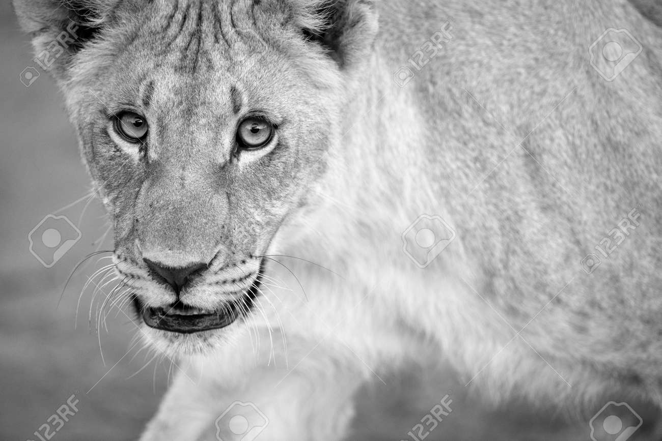 A black and white close up portrait of a walking female lioness looking straight at the camera, taken in the Madikwe Game Reserve, South Africa. - 142555962